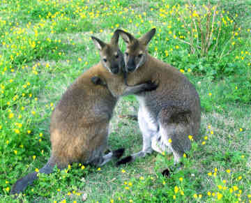 Image result for wallaby