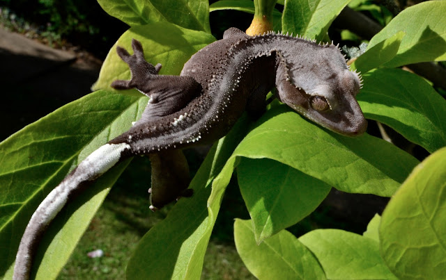 grey crested gecko