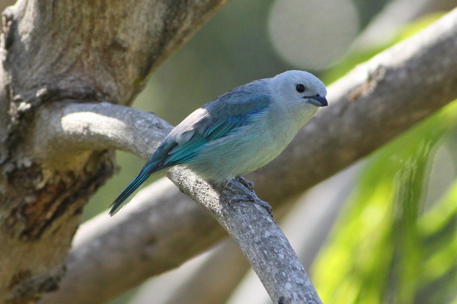 Blue Gray Tanager Range Blue-gray Tanager Even
