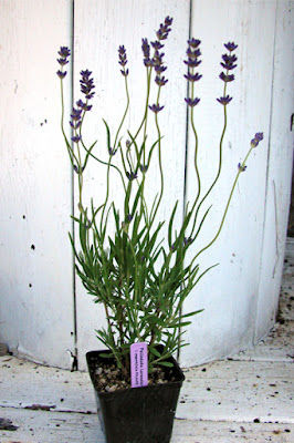 english angustifolia lavender plants