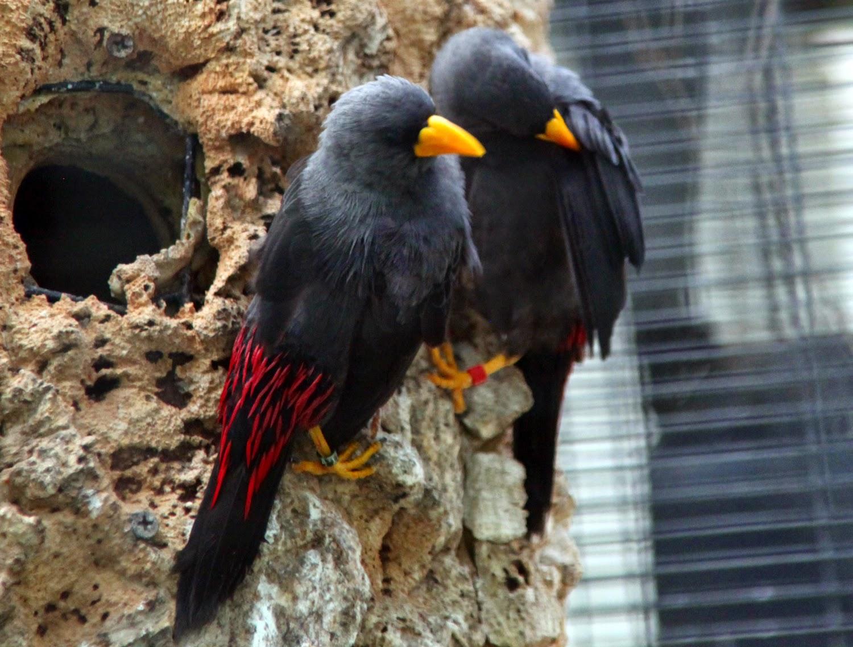 Foto Burung Rio-Rio Terbaik