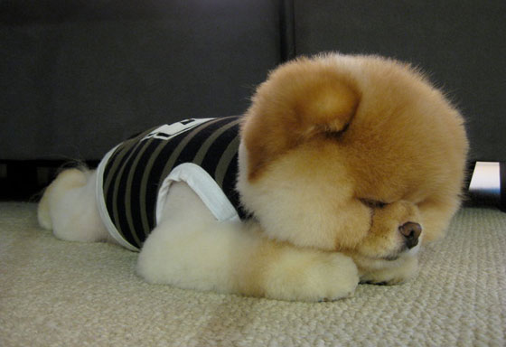 Funny Pomeranian Dogs New Images/Pictures 2012 | All Funny