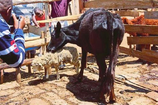 Penduduk kampung gempar lembu makan biri biri