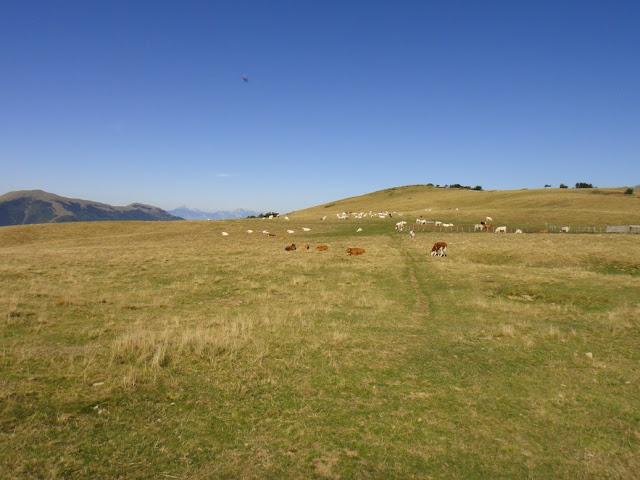 vaches au col du sénépi