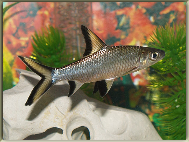 List of freshwater fish beginning with b animals name a to z for Freshwater shark fish