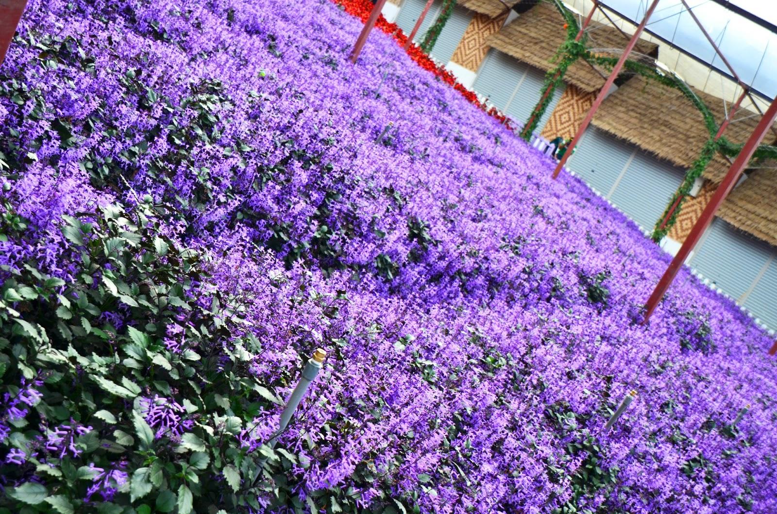金马伦-薰衣草园