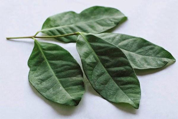 bay-leaf  Medicinal plants