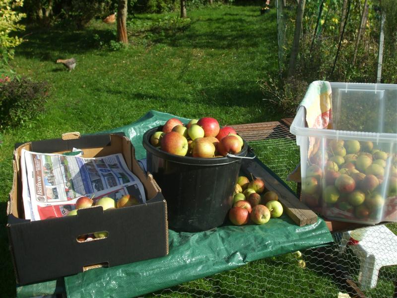 the compost bin apple picking a bumper harvest. Black Bedroom Furniture Sets. Home Design Ideas
