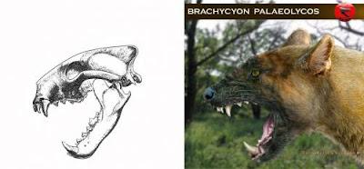 Brachycyon skull