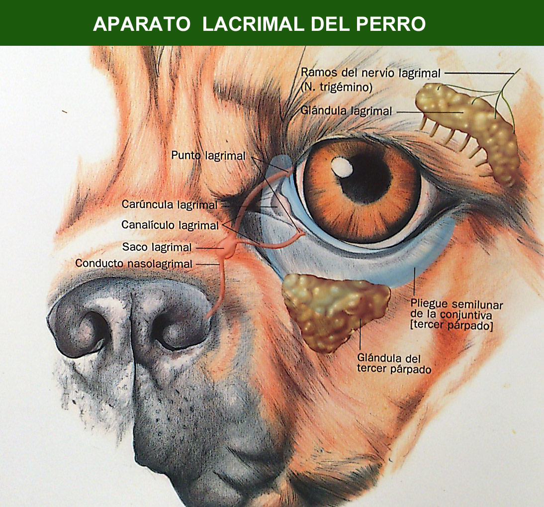 Oftalmologia Veterinaria: Anatomia del bulbo ocular