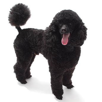 Black mini bull terrier