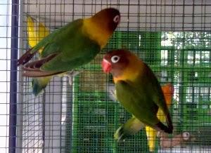 Daftar Harga Burung Lovebird Terbaru Bulan Januari Tahun 2014 Terlengkap