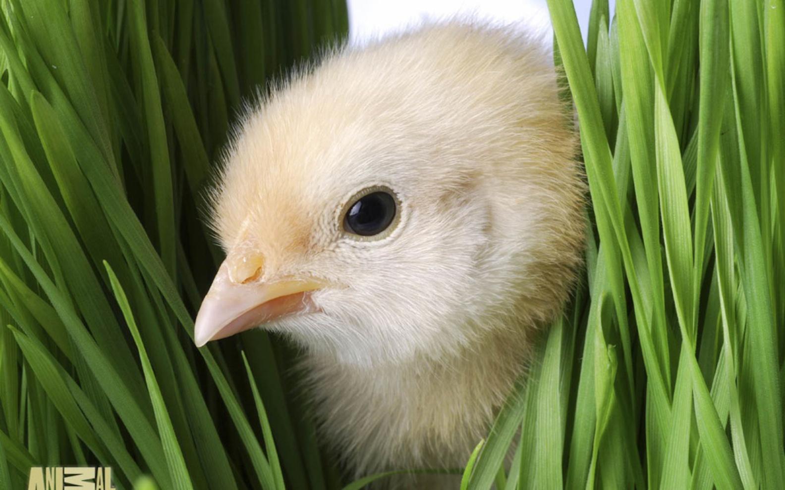 7 Cute Easter Chicks Desktop Wallpapers Free Christian
