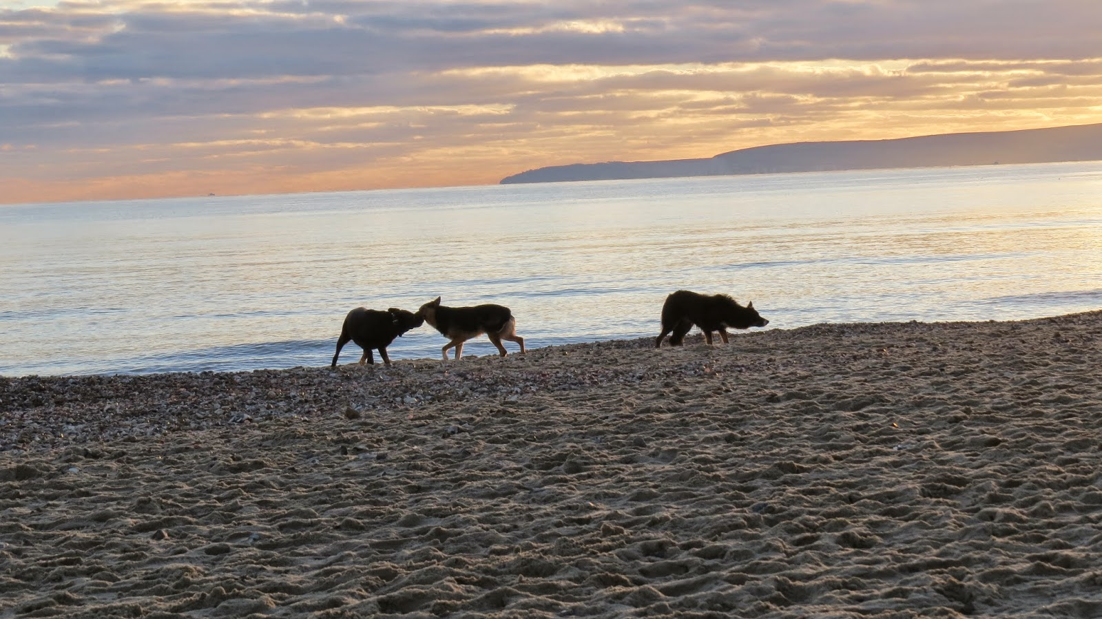 Dogs playing at sunset on Bournemouth beach