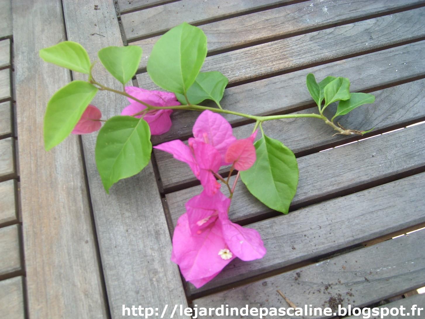 Le jardin de pascaline bouturer le bougainvillier - Bouture de l hibiscus de jardin ...