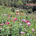 Produce México más opio ante auge de heroína en Estados Unidos un negocio de 1000 millones de dolares