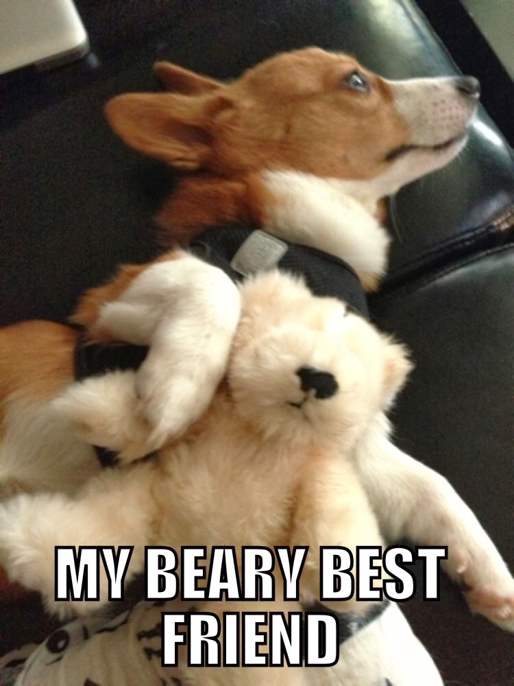Corgi with bear
