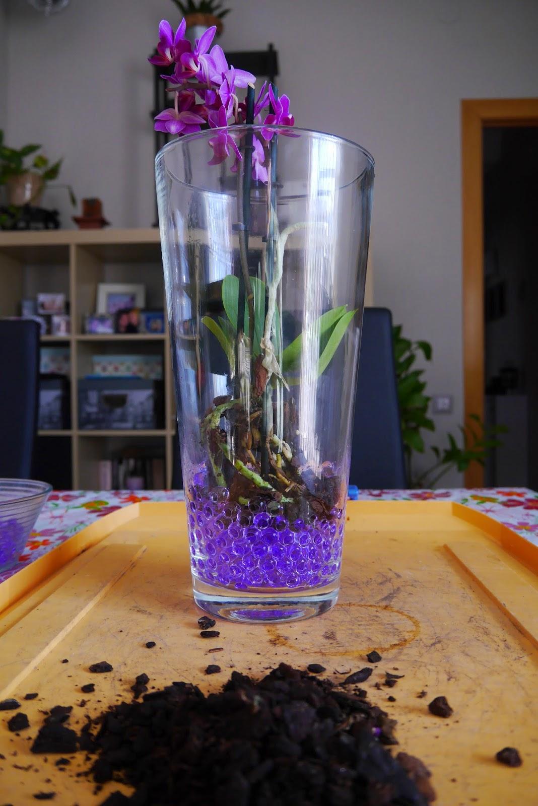 Mr washisan orqu dea mariposa mini plantada en gel dentro - Tiestos para orquideas ...