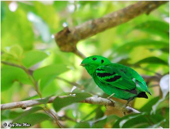 Burung madi perak, burung madi hijau, burung kicau madi