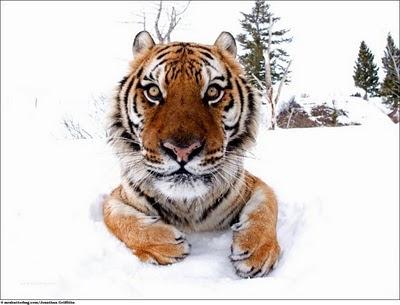 Gambar Bagus Harimau Siberia