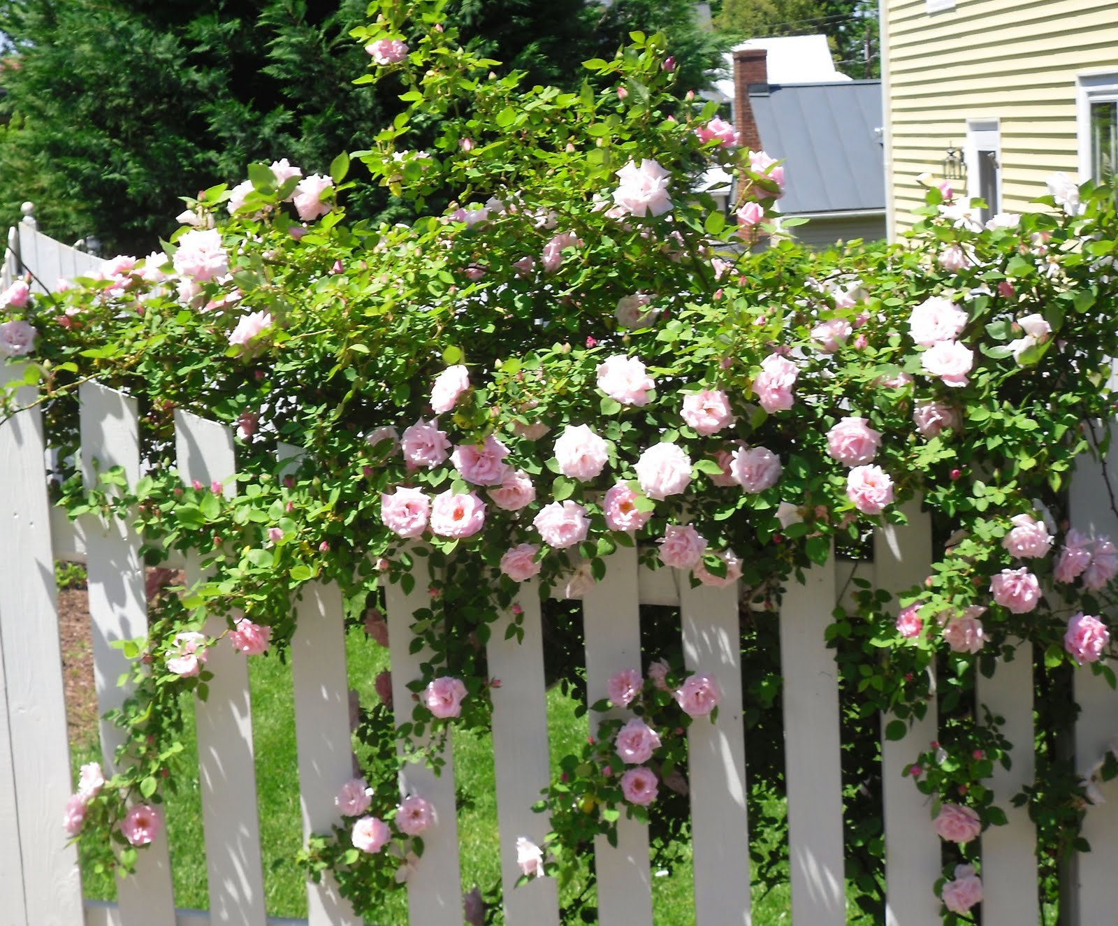 Culpeper Virginia White Picket Fence Amp Pink Roses