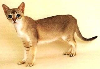 7 Kucing Terkecil Di Dunia
