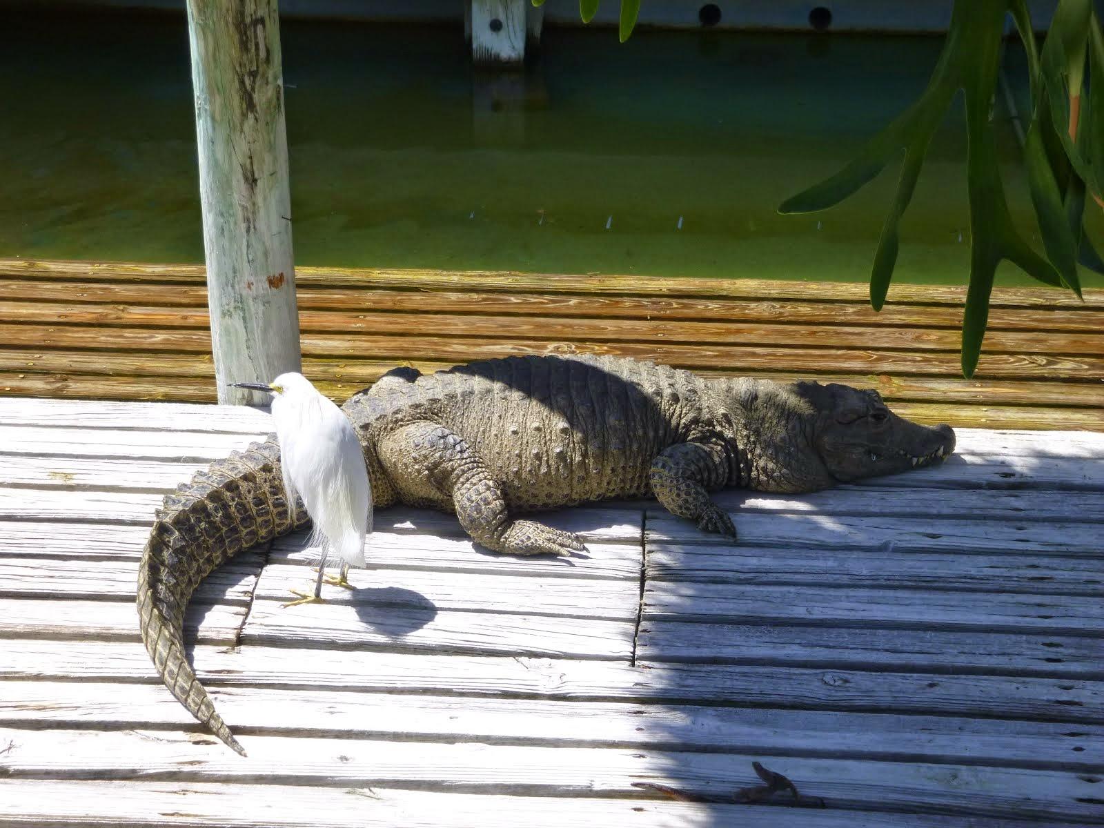 Un vrai alligator floridien... il fait la sieste !