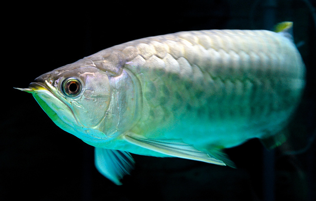 Banjar Red Asian Arowana Type Fish Stockphoto