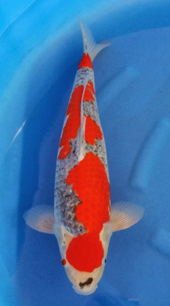 Koi for sale 6 dec 2013 indonesia koi show fish entry for Koi fish size