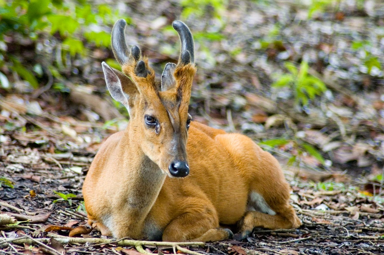 Animals You May Not Have Known Existed - Southern Red Muntjac