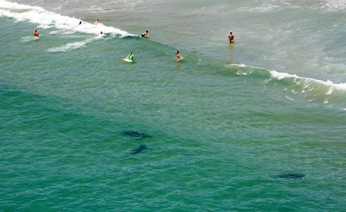 Shark Attack News Photo Beachgoers Enjoy The Water While Sharks Swim Nearby