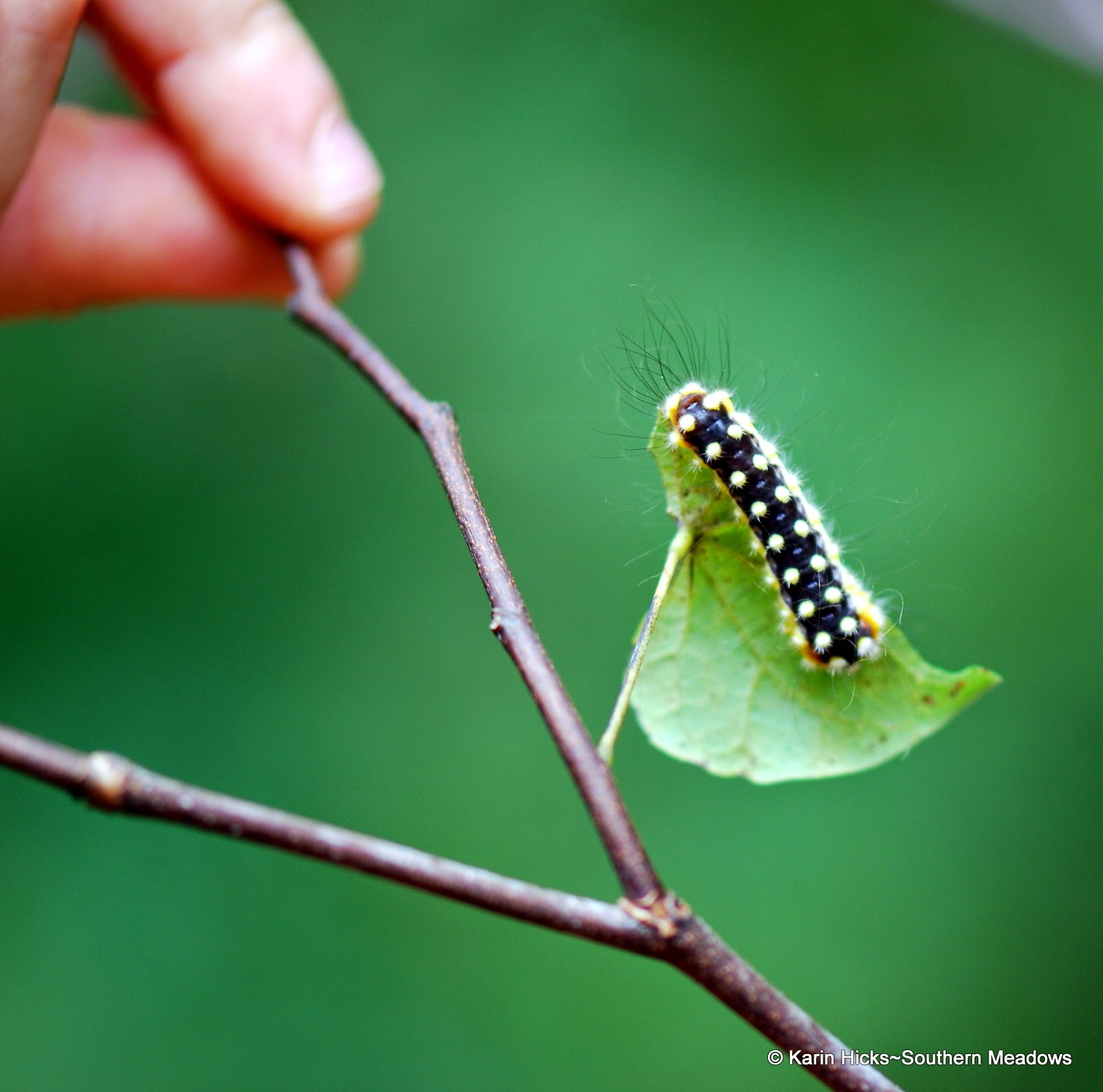 white flannel moth caterpillar on redbud