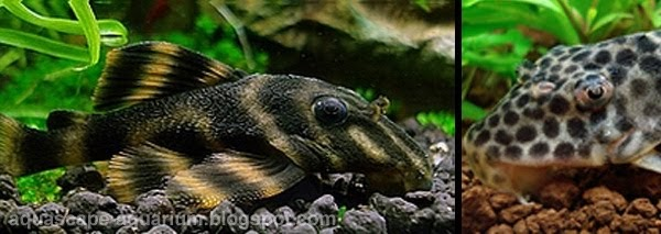 Freshwater tropical fish species for planted aquarium for Freshwater aquarium fish guide