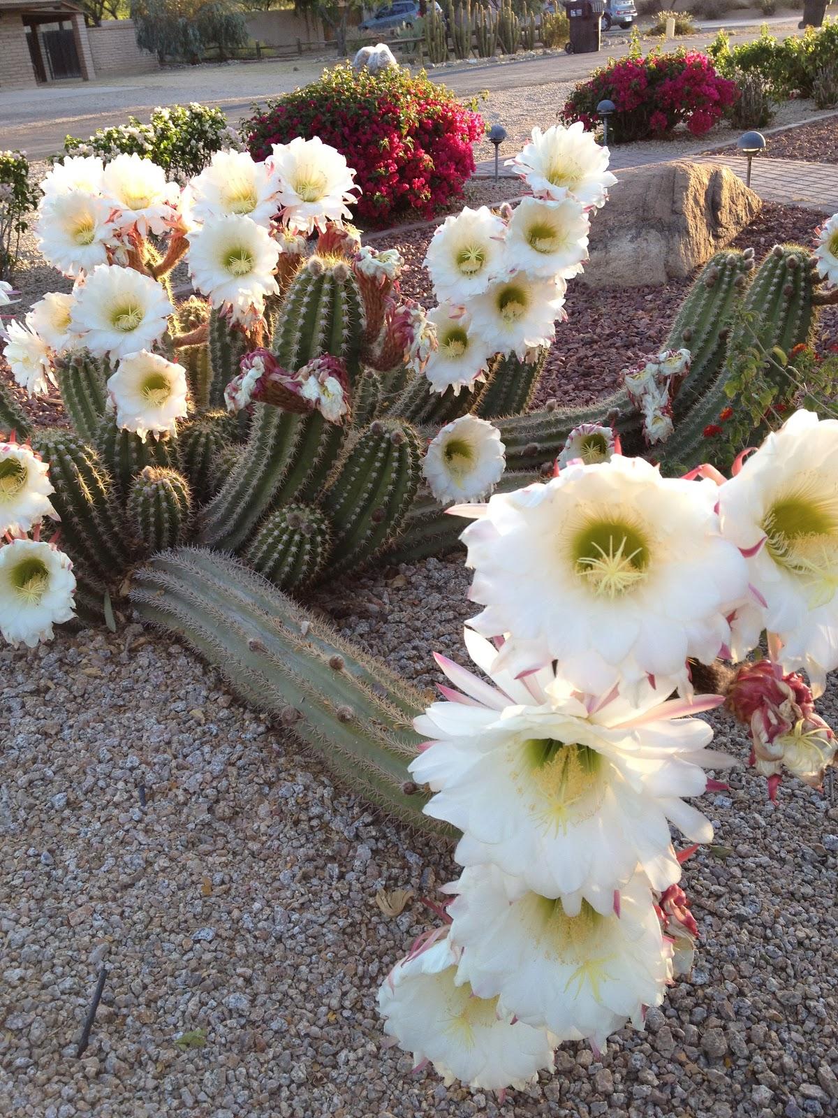 Amazing argentine giant cactus flowers i love scottsdale for Cactus argentina