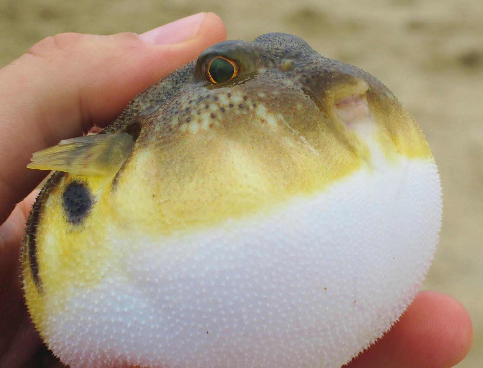 Image Gallery Northern Puffer