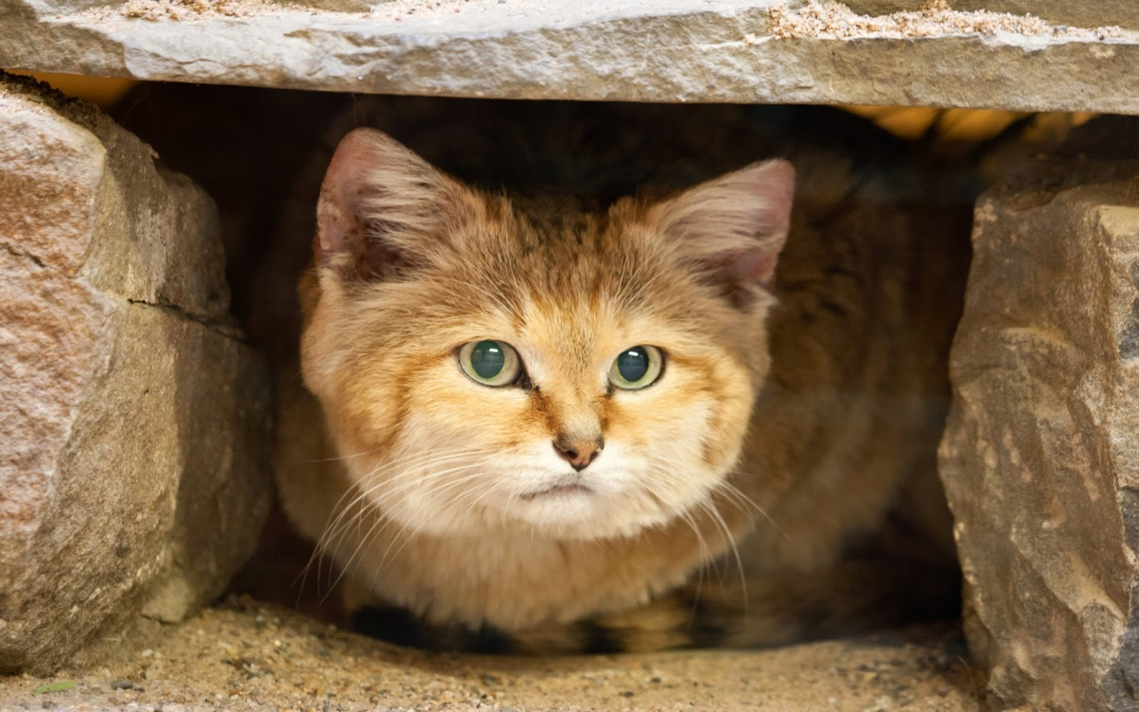 Sand Cat Wallpapers HD  Beautiful Collection 2014