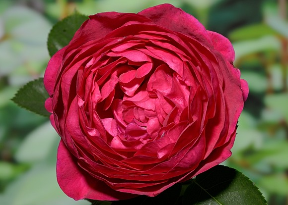 Ascot rose сорт розы фото