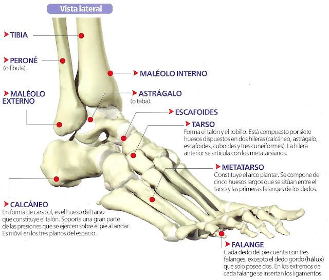 Nombre de las partes del pie humano - Imagui