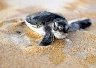 Fox Sends Sea Turtle Back to Sea