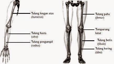 Tulang Anggota Gerak dan Penjelasannya