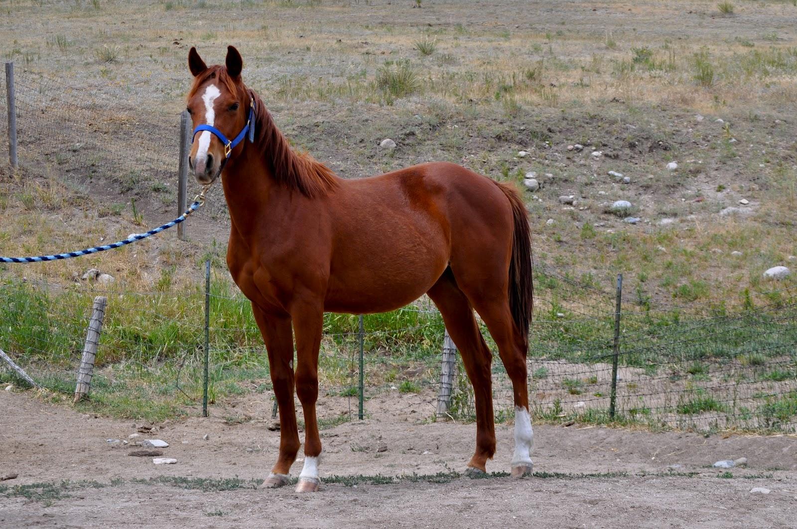 Roan River Ranch Quarter Horses: 2011 colts - photo#25