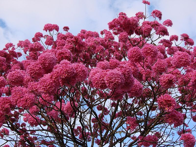 Happiness all around us flowering trees in india well known and popular it is the national tree of paraguay it is also planted as a street tree in cities of india like in bangalore mightylinksfo