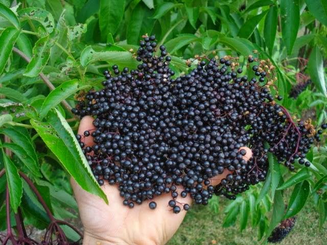 VIVIX SHAKLEE Elderberry Eropah