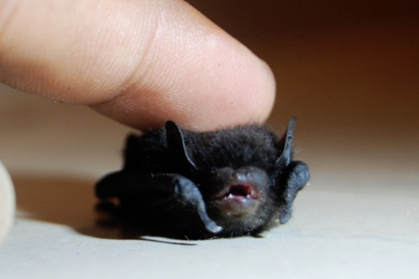 funny animal pictures, tiny bat