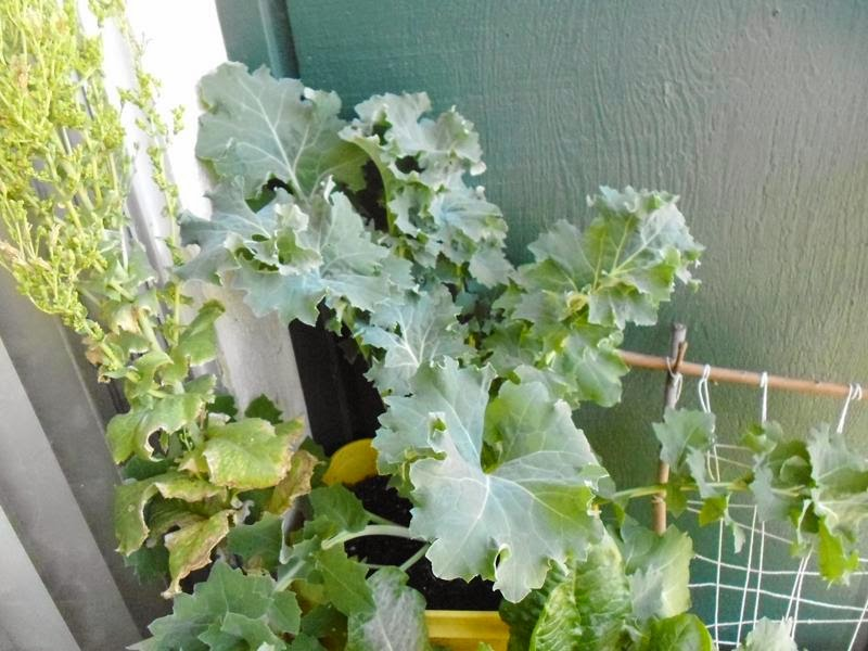 Giant Kale plant