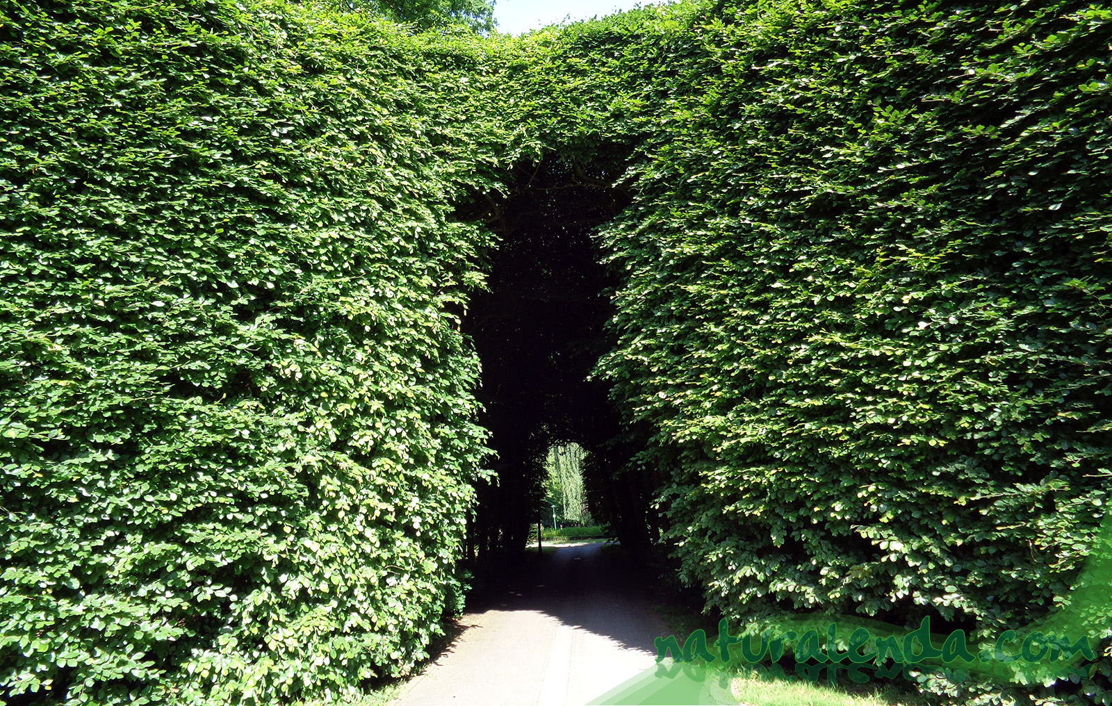 tunel vegetal