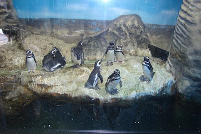 Pinguins do Aquário de Santos - SP