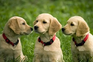 Golden Retriever Puppies Photos