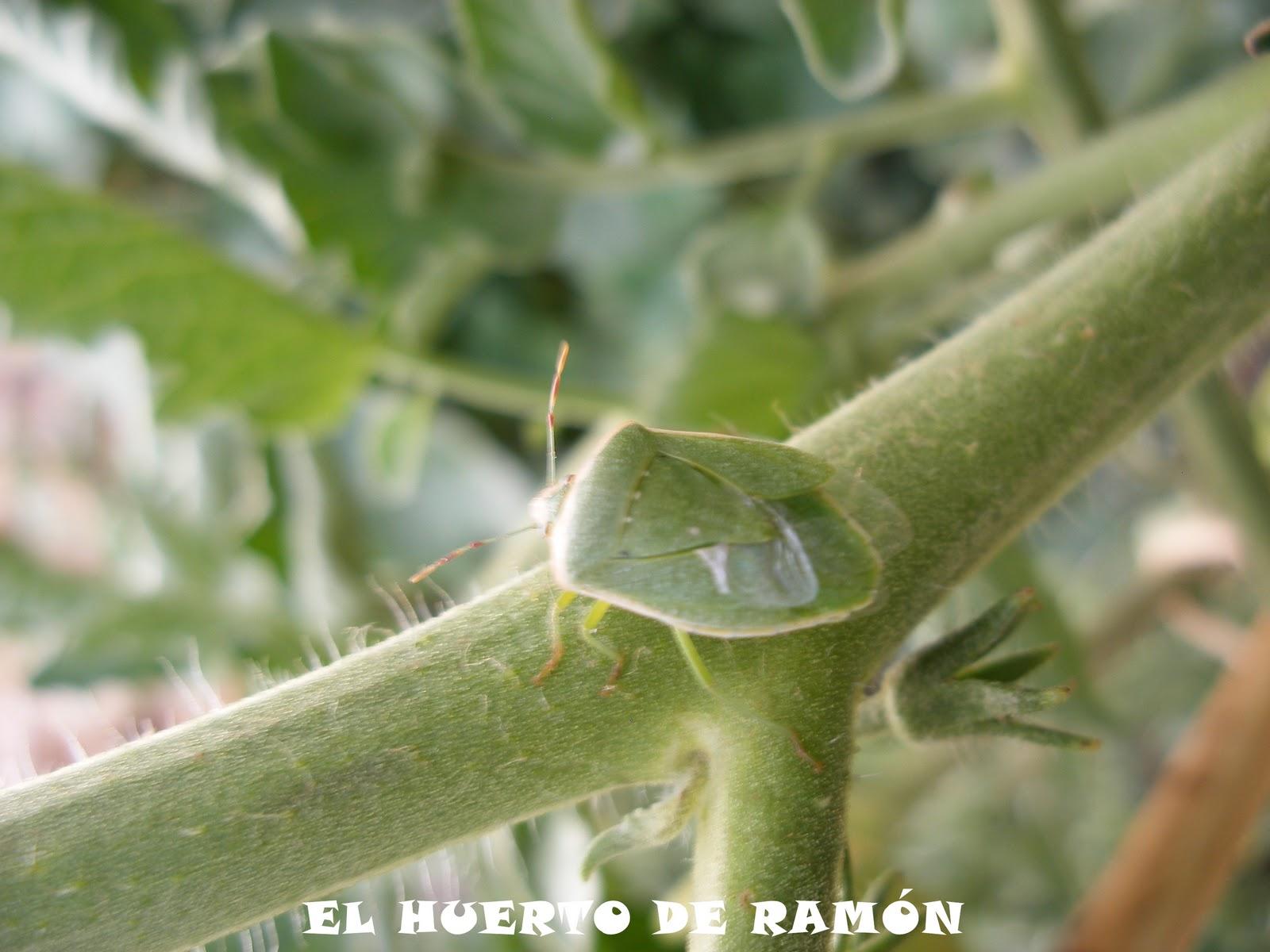El huerto de ram n el chinche verde - Plantas ahuyenta insectos ...