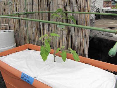 Bucolic Bushwick Rooftop Vegetable Garden Tomatoes